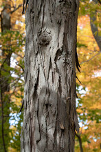 The Trunk Of A Shag Bark Hickory Tree On A Sunny Fall Day In The Carolinian Forests Of Southern Ontario, Canada