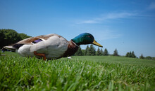 Duck On A Green Grass Haunting...