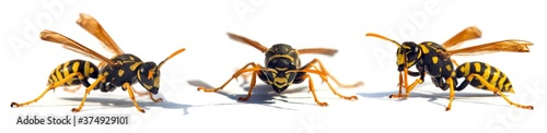 Foto European wasp German wasp or German yellow jacket