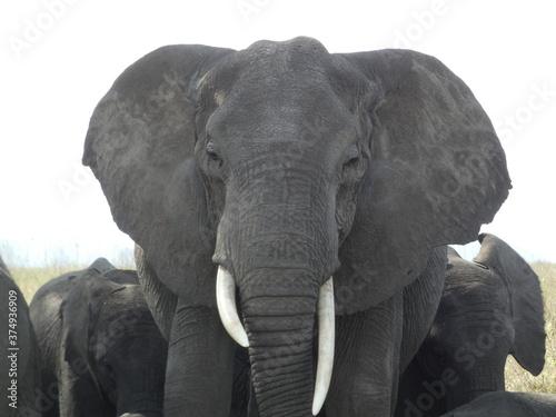Fotografie, Obraz Elephant