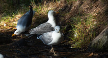 Group Of Seagull Drinking Wate...