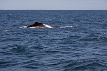 Dorsal Fin Of A Humpback Whale...