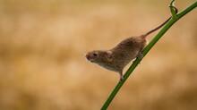 Harvest Mouse On A Plant Stem, Indiana, USA