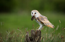 Barn Owl With A Dead Mouse, Indiana, USA
