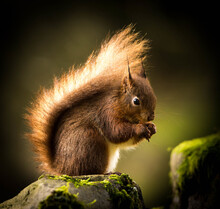 Portrait Of A Red Squirrel Eat...