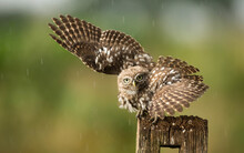 Owl Taking Off From A Wooden Post, Indiana, USA