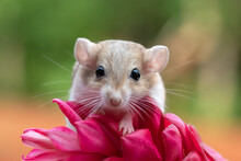 Portrait Of A Gerbil On A Tropical Flower, Indonesia