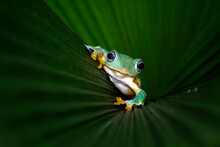 Javan Tree Frog On A Leaf, Ind...