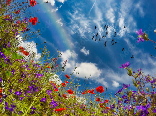 Low angle view of a rainbow and birds flying over a field of wildflowers, Switzerland - 374969707