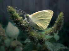 Close-up Of A Cabbage White Bu...