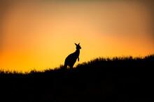 Silhouette Of A Kangaroo, North Stradbroke Island, Moreton Bay, Queensland, Australia