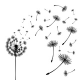 Fototapeta Dmuchawce - Vector illustration dandelion time. Two dandelions blowing in the wind. The wind inflates a dandelion isolated white background