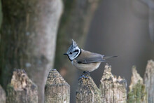 Crested Tit In The Woods On A ...