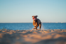 Dog On The Beach. Active Pit B...