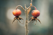 Two Red Rosehips Hang From A Stalk