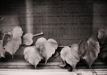 Heart Shaped Leaves In Black And White