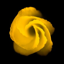 Yellow Bell Flower On Black Background