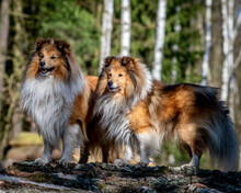 Sheltie - Shetland Sheepdog In...