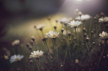 White Spring Daisies In Rays O...