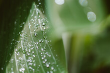 Water Droplets On A Large Leaf After The Rain