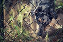 Dog Gazes Through Gated Yard W...