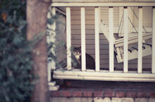 Grey And White Cat Peeks From Behind Fenced Patio With Swinging Bench