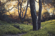 Gnarled Trees In A Grassy Wooded Sunset