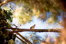 Dove Sits On Branch In A Sunlit Tree