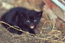 Angry Feral Black Kitten With ...