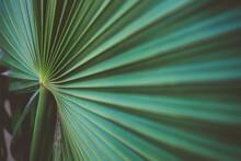 Mexican Fan Palm Detail
