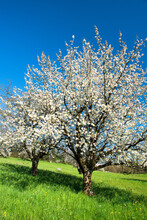 Blossoming Cherry Trees In Spr...