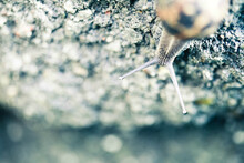 Macro Of A Snail On A Rock With His Antenna Out