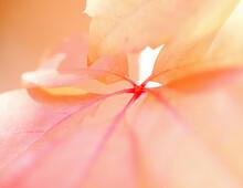 Extreme Close-up Of Orange Lea...