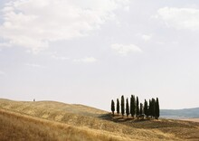 A Group Of Cypress Trees In Tu...