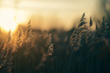 Grasses At Sunset