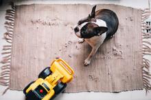 A Boston Terrier Vs. A Bulldozer Toy Truck.