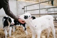 A Man Strokes A Holstein Belgian Blue Cross Calf Under The Chin