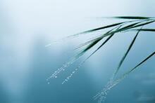 Delicate Grass Blades With Dew...