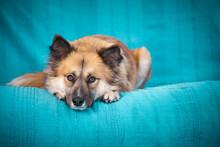 Cute Dog On A Blue Sofa