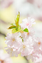 Closeup Of Cherry Blossom With Creamy Pastel Background