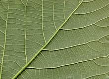 Broussonetia Papyrifera Leafs Surface At Extreme Close-up