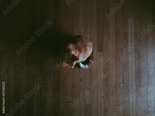 Cat on Dark Wood Floor - 375002312