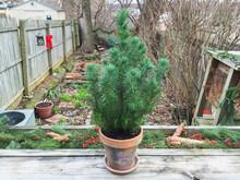A Small Christmas Tree In A City Garden