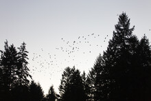 Eerie Silhouette Of A Swarm Of Crows Against The Sky And Trees
