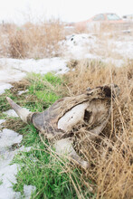 Parcially Deteriorated Cow Skull In Weeds On Winter Day