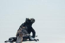 Galapagos Maarine Iguana
