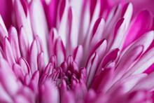 Macro Abstract Of Mum Flower P...