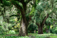 Old Live Oaks Trees With Spanish Moss