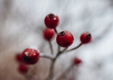 Close Up Of Red Berries In Snow