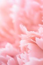 Rose Quartz Carnation Flower Petals